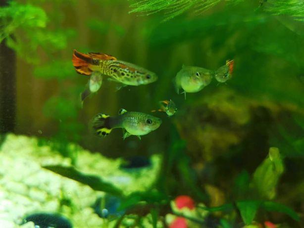 Rybki Gupiki + roślinki