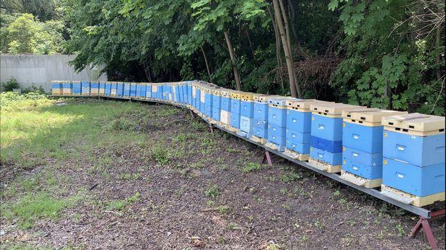 Miód pszczeli,pasieka,rodziny pszczele,ule,pszczoły,matki pszczele
