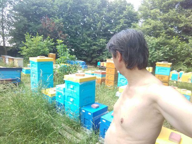 Odkłady pszczele pszczoły ramka WLP matki BUCKFAST odporne na Warrozę