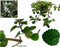 """Planta """"Plectranthus verticillatus"""" - Vários tamanhos a partir de 8€"""