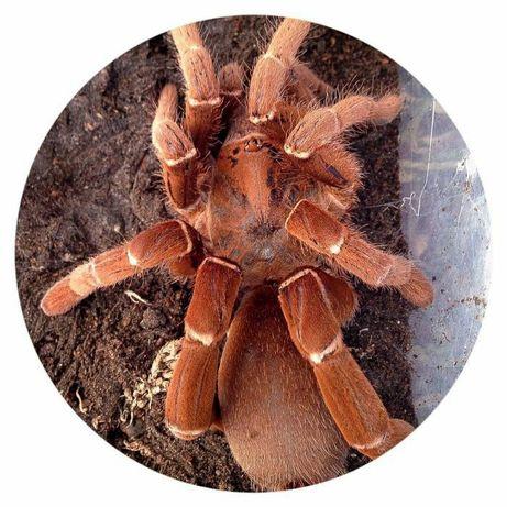 паук Pelinobius muticus адульт самец Королевский паук бабуин)
