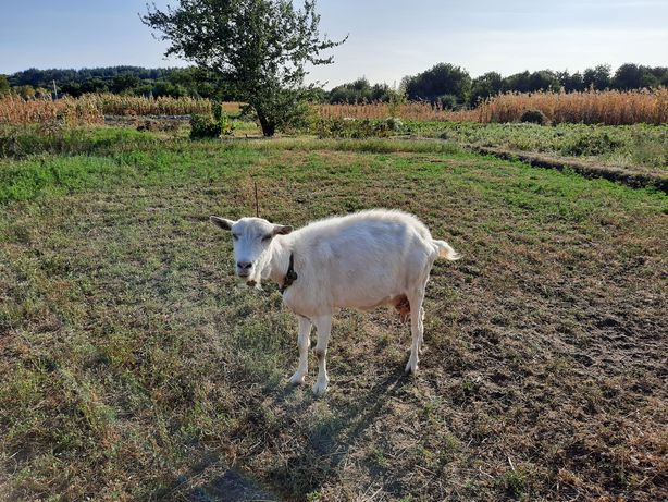 Коза лохвицької породи