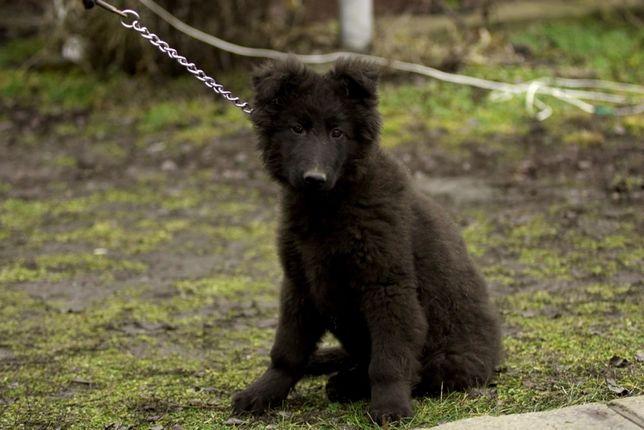 кобелю 3,5 месяца,щенок немецкой овчарки,черный длинношерстный