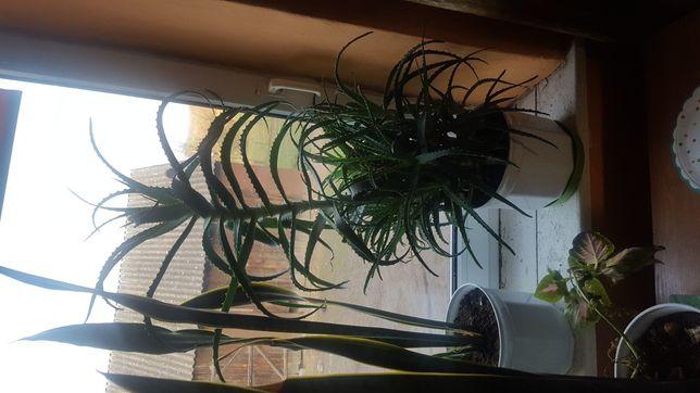 Aloes kwiat leczniczy