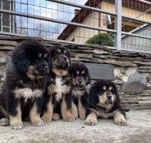 Тибетский мастиф щенки КСУ FCI / тібетський мастіф цуцики