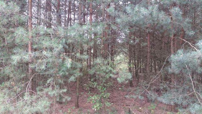 Drzewo opałowe samosiejki