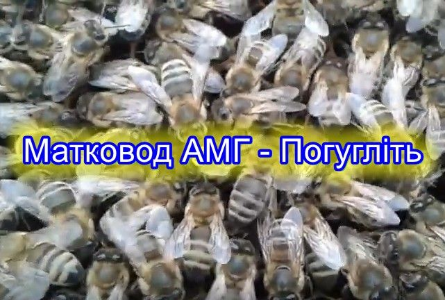 Неплодные матки кавказской породы пчел неплодки кавказянки продам