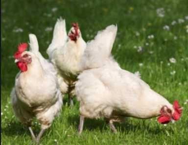 інкубаційні яйця Хайсекс Вайт