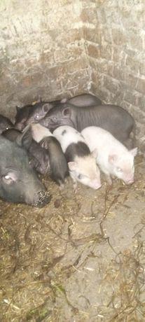 Продам ветнамських свиней