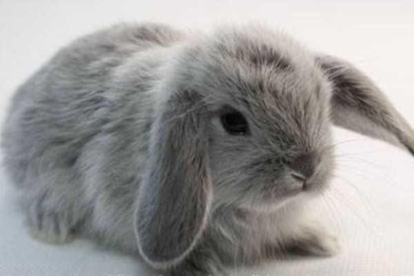 Маленькие ручные кролики баранчики
