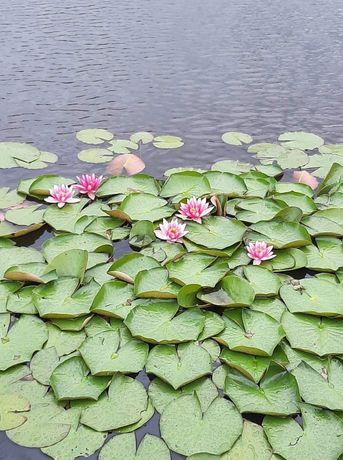 Lilie wodne różne kolory