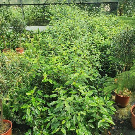 Plantas para sebes Prunus lusitânica