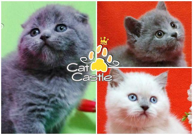 Шотландские котята - истинные шотландцы!