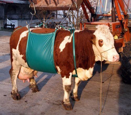 Podnośnik temblakowy dla bydła 1000kg