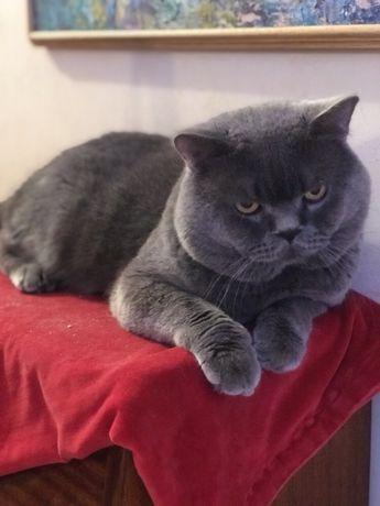 Вязка.Лучший кот! Шотландец
