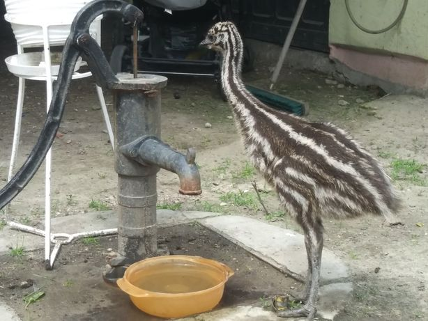 Emu 2 sztuki z 20 kwietnia