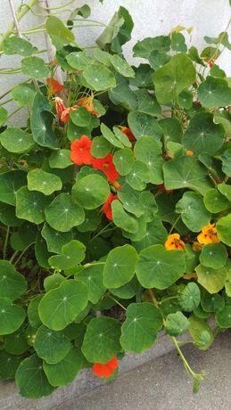 Sementes flor Capuchinha