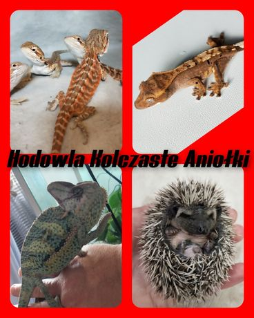 Gekon orzęsiony,agama brodatą, jaszczurka , jeż pigmejski
