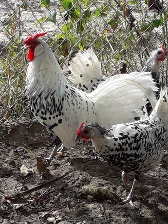 Hamburgi - jajka lęgowe
