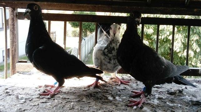 Młode gołębie pocztowe, czarne, tygrys, mulemans