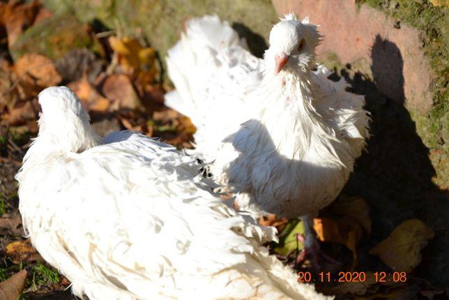 Продам пару кудрявых голубей