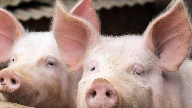 Świnie mięsne tuczniki