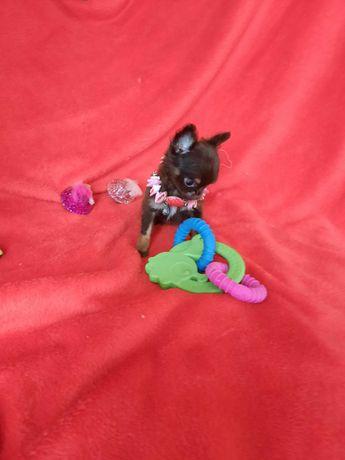 Chihuahua Fêmea Pêlo Comprido Criadora Registada PT 3088 FL