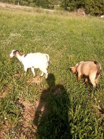 Vendo casal de cabras anas
