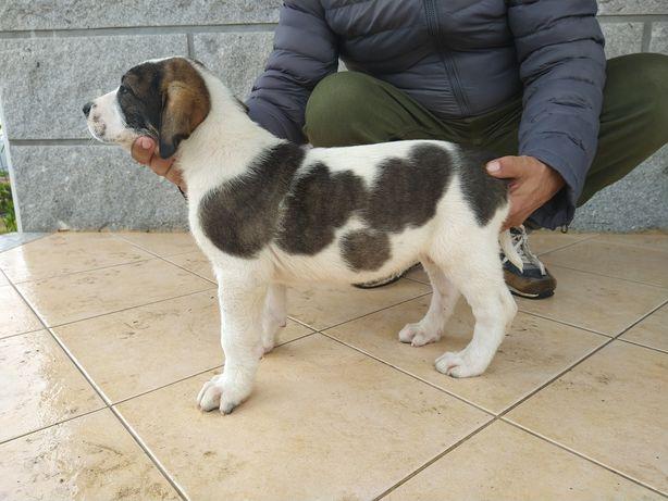 Cão de Gado Transmontano - Mãe Campeã de Portugal