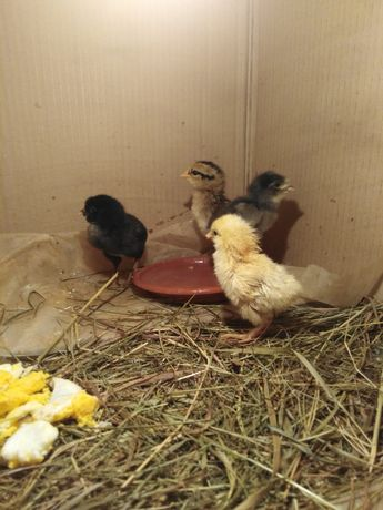 Sprzedam 4 ostatnie kurczaki mix