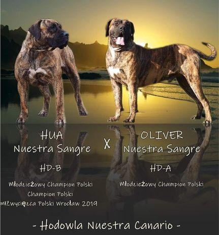 Presa Canario / Dogo Canario