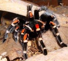 Красноколенный птицеед брахипельма смита brachypelma паук павук