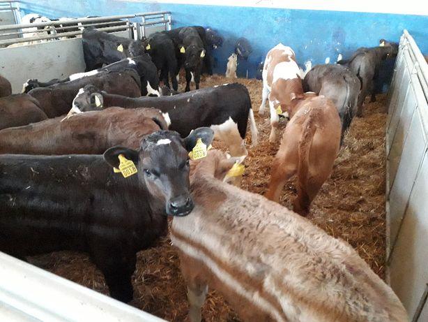 Byczki Jałówki Mięsne, HF, Byczki 60kg-100kg, odsadki 200kg