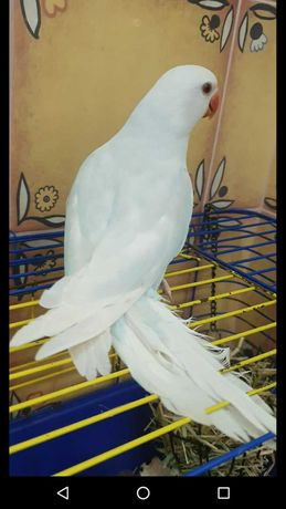Продам ожерелового кольчатого попугая