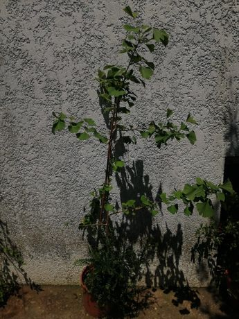 Planta ginkgo biloba