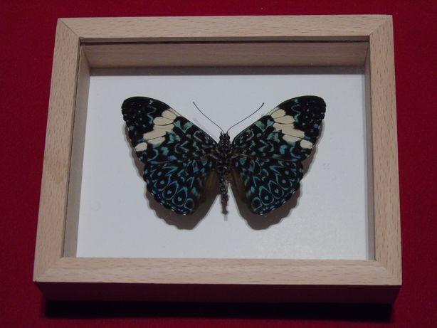 Motyl w ramce 12x10cm.Hamadryas arinome75mm.Peru.