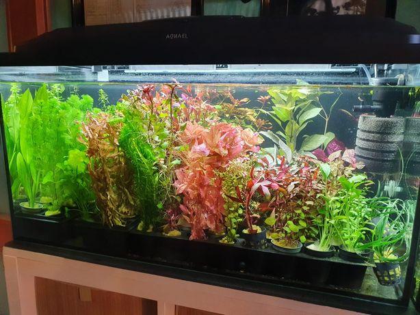 Rośliny Akwariowe Różne Rodzaje Ładne Zdrowe w Koszyczkach Wysyłka
