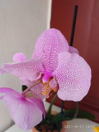Орхидея Манхеттен с цветоносом орхидеи
