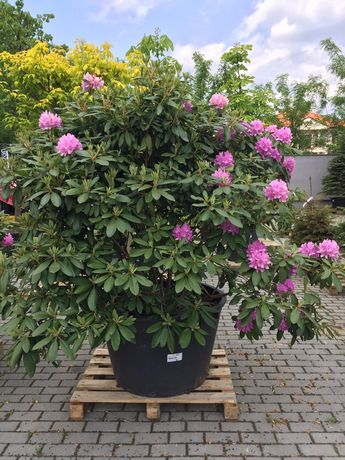 Rododendron 2m