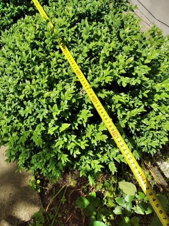 Продам вечно зеленый кустарник Самшит