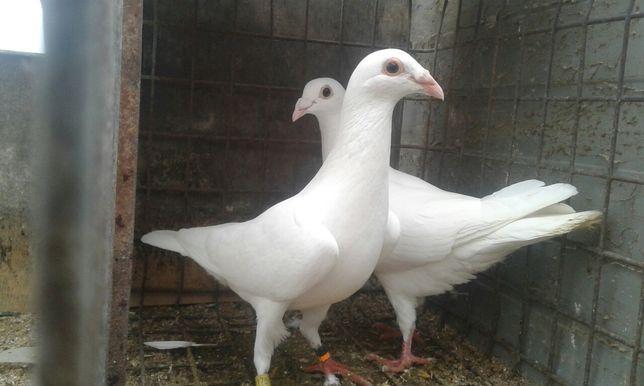Białe pocztowe ptaki gołębie ozdobne samiec samica