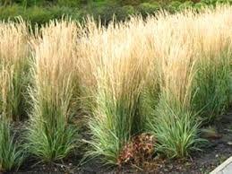 trzcinnik ostrokwiatowy Karl Foerster trawa ozdobna trawy ozdobne
