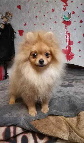 Продам прекрасного щенка Померанского шпица, качество, порода.