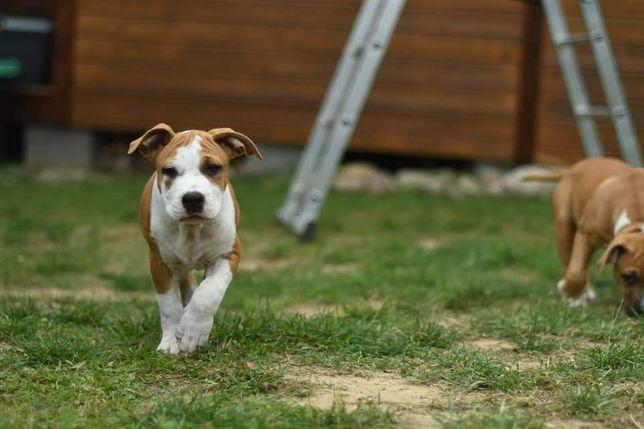 Suczka American Staffordshire Terrier FCI