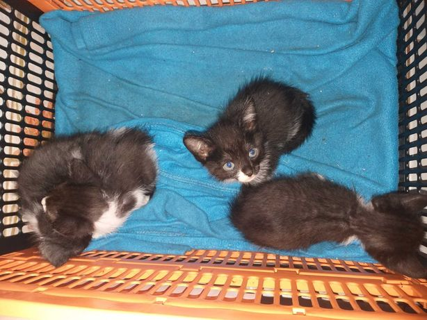 3 gatos bebés para adoção