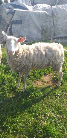 Sprzedam owce 1,5 roku