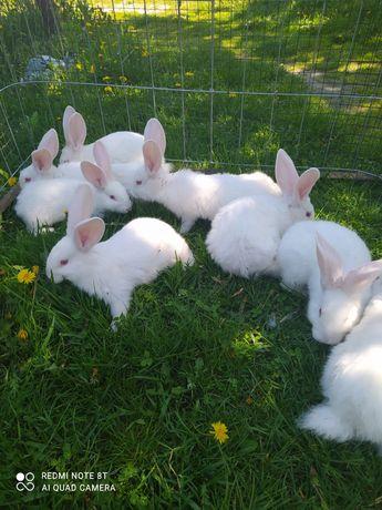 Sprzedam młode króliki.