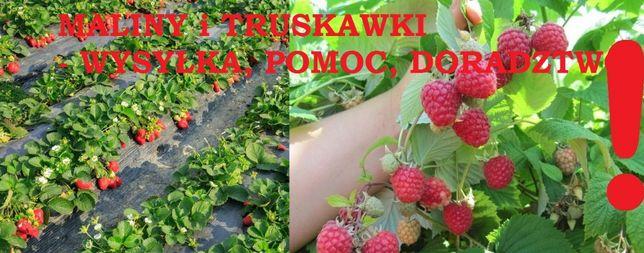 SADZONKI EKO - malin - truskawek - jeżyn , domowy ogródek WYSYŁKA