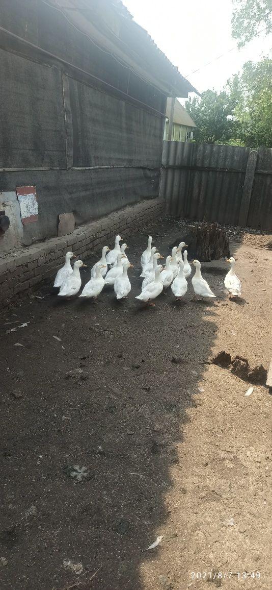 Продаются дикие белые утки альбиносы