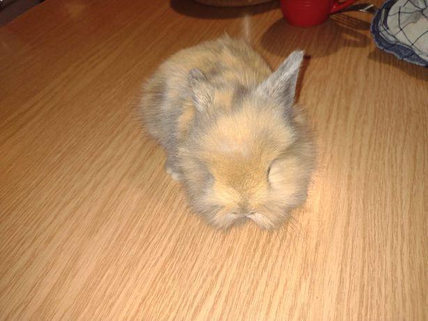 Sprzedam królika teddy